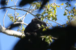 Black howler monkey (Alouatta caraya) [bonito_0489]