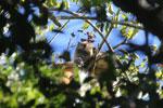 Black howler monkey (Alouatta caraya) [bonito_0491]
