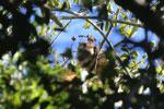 Black howler monkey (Alouatta caraya) [bonito_0492]