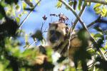 Black howler monkey (Alouatta caraya) [bonito_0493]
