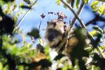 Black howler monkey (Alouatta caraya) [bonito_0494]