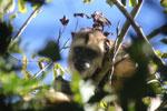 Black howler monkey (Alouatta caraya) [bonito_0495]