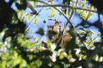 Black howler monkey (Alouatta caraya) [bonito_0496]