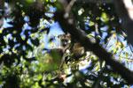 Black howler monkey (Alouatta caraya) [bonito_0498]