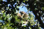 Black howler monkey (Alouatta caraya) [bonito_0499]