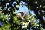 Black howler monkey (Alouatta caraya) [bonito_0501]