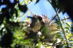 Black howler monkey (Alouatta caraya) [bonito_0502]