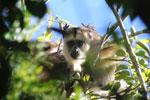 Black howler monkey (Alouatta caraya) [bonito_0503]