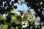 Black howler monkey (Alouatta caraya) [bonito_0504]