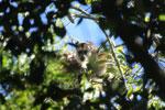 Black howler monkey (Alouatta caraya) [bonito_0505]