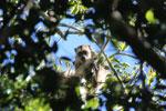 Black howler monkey (Alouatta caraya) [bonito_0506]