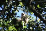 Black howler monkey (Alouatta caraya) [bonito_0507]
