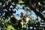 Black howler monkey (Alouatta caraya) [bonito_0508]