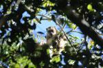 Black howler monkey (Alouatta caraya) [bonito_0509]