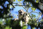 Black howler monkey (Alouatta caraya) [bonito_0510]