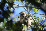 Black howler monkey (Alouatta caraya) [bonito_0511]