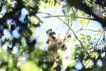 Black howler monkey (Alouatta caraya) [bonito_0512]