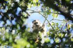Black howler monkey (Alouatta caraya) [bonito_0513]
