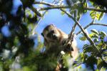 Black howler monkey (Alouatta caraya) [bonito_0515]