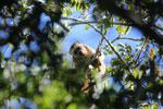 Black howler monkey (Alouatta caraya) [bonito_0516]