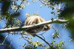 Black howler monkey (Alouatta caraya) [bonito_0518]