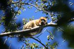 Black howler monkey (Alouatta caraya) [bonito_0519]