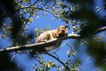 Black howler monkey (Alouatta caraya) [bonito_0520]