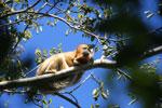 Black howler monkey (Alouatta caraya) [bonito_0521]