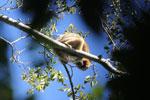 Black howler monkey (Alouatta caraya) [bonito_0522]