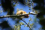 Black howler monkey (Alouatta caraya) [bonito_0523]