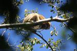 Black howler monkey (Alouatta caraya) [bonito_0524]