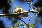 Black howler monkey (Alouatta caraya) [bonito_0525]