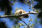 Black howler monkey (Alouatta caraya) [bonito_0526]