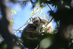 Black howler monkey (Alouatta caraya) [bonito_0527]