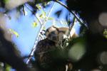 Black howler monkey (Alouatta caraya) [bonito_0530]