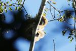 Black howler monkey (Alouatta caraya) [bonito_0532]