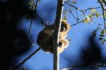Black howler monkey (Alouatta caraya) [bonito_0533]