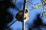 Black howler monkey (Alouatta caraya) [bonito_0534]
