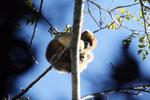 Black howler monkey (Alouatta caraya) [bonito_0535]