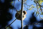 Black howler monkey (Alouatta caraya) [bonito_0536]