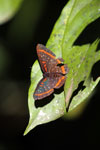 Meneria Metalmark (Amarynthis meneria) [bonito_0546]
