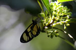 Butterfly [bonito_0558]