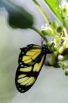 Butterfly [bonito_0561]