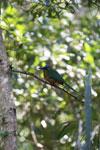 Amazonian Motmot (Momotus momota) [bonito_0582]
