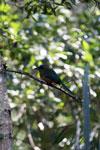 Amazonian Motmot (Momotus momota) [bonito_0585]