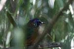 Amazonian Motmot (Momotus momota) [bonito_0592]