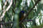 Amazonian Motmot (Momotus momota) [bonito_0593]