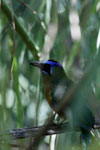 Amazonian Motmot (Momotus momota) [bonito_0610]