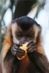 Brown capuchin monkey [bonito_0619]