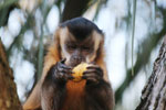 Tufted capuchin monkey (Cebus apella)